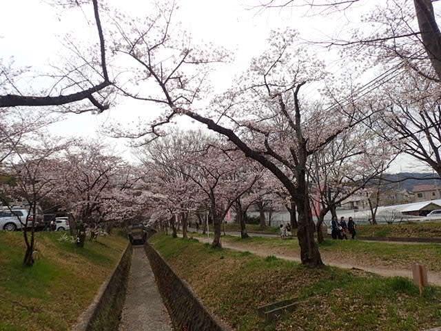 星田妙見宮(正式名:小松神社)の桜 3