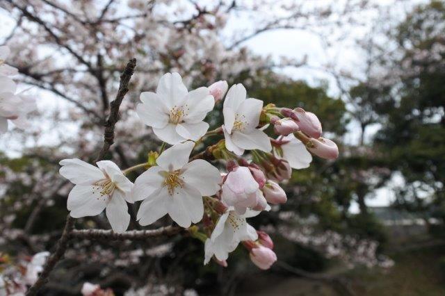 星田妙見宮(正式名:小松神社)の桜 5